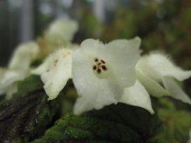 Begonia-yapenensis1-508x381